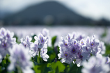 ホテイアオイの咲く風景