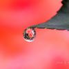 10月の薔薇