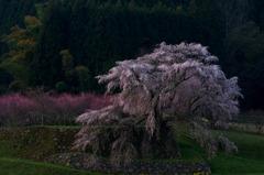 又兵衛桜の朝