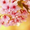 桜人・・・。