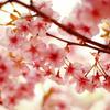 桜流し・・・。
