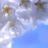 桜 - 2015・・・。
