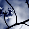 桜 - monochrome・・・。
