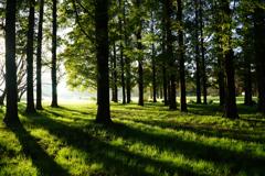 メタセコイアの森 4