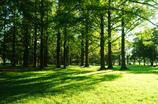 メタセコイアの森 2