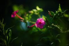 オシロイバナ(サブタイトル・・間違えられた花)
