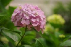 紫陽花 19