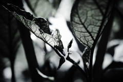 茄子・・・の葉
