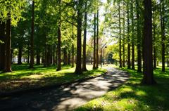 メタセコイアの森 3