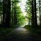 メタセコイアの森 1