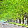 新緑の並木道