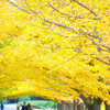 銀杏並木の下