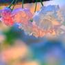 ~夕暮れ桜~
