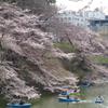 4.2 北の丸公園の桜