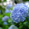 明月院ブルー