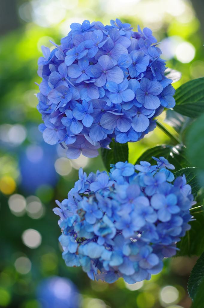 残して紫陽花