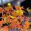 黄葉×紅葉
