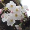 桜咲く週末