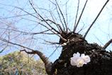幹から初咲き