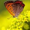 紅小灰蝶と女郎花