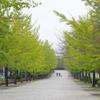 ミューズパークのイチョウ並木