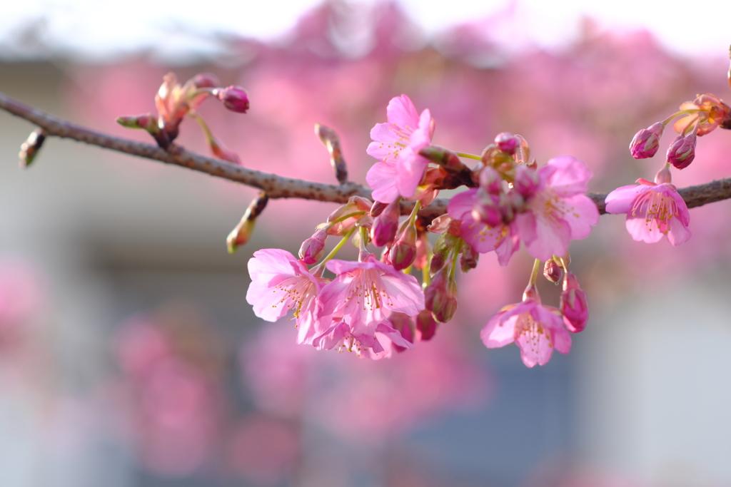 2.1 河津桜