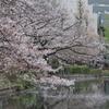 4.8 不忍池の桜
