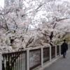 牛込濠の桜