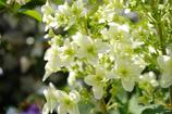 カシワバ咲く