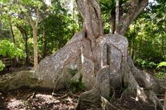 西表島の巨木 サキシマスオウノキ