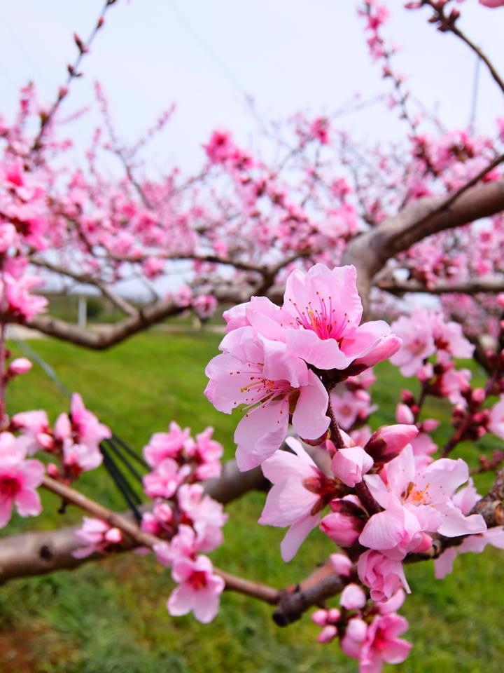山梨甲府の桃畑。