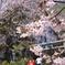 草津温泉の桜