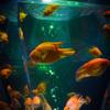 アートアクアリウム展 ~名古屋・金魚の雅~ 弥冨の金魚