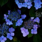 相模原公園 2011 紫陽花のリズム