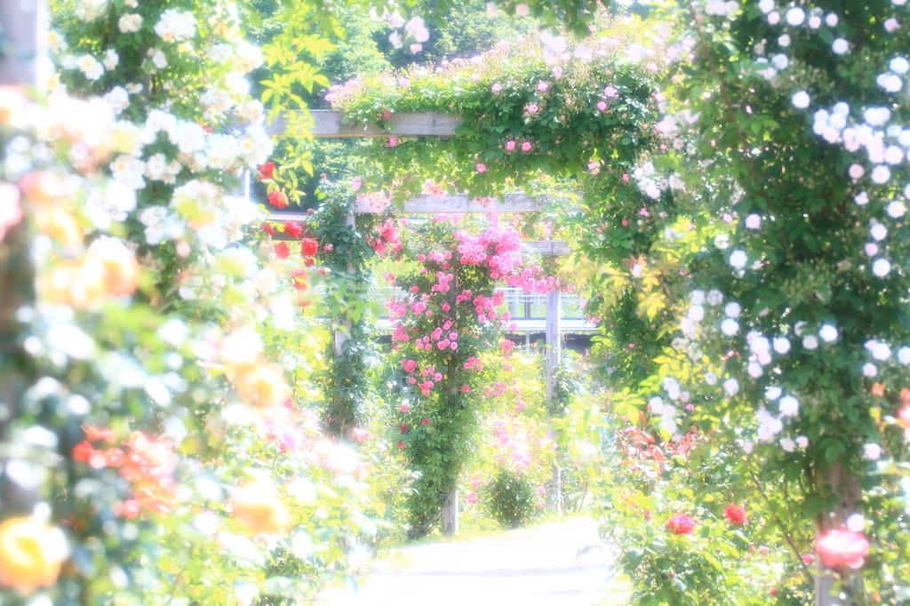 Shining rose road