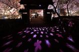 日本三大名所の夜桜