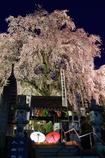 林陽寺のしだれ桜