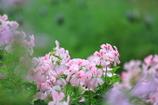 ピンクの園