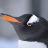 しばれるペンギンさん