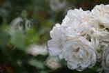 白薔薇(^。^)
