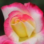 CANON Canon EOS 60Dで撮影した植物(バラⅨ)の写真(画像)