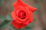 秋の薔薇 其の二