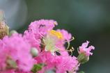「サルスベリ」の花・・・2