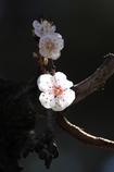 大連の桜(Ⅰ)