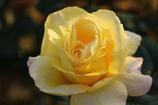 薔薇Vol.12
