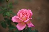 秋の薔薇 其の一