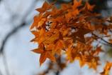 楓の葉(^_^) 其の八