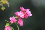 秋薔薇(^。^)