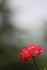 2018 薔薇 其の七