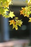 楓の葉(^_^) 其の七
